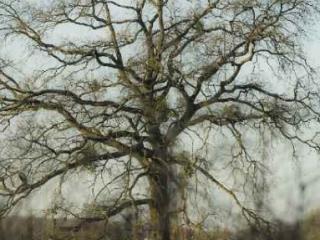 Chêne guité dees Ormes-sur-Voulzie